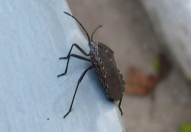 P110AnasaTristisSquashBug933 May 10, 2012  7:36 a.m.  P1100933 This is a Squash Bug, Anasa tristis, at LBJ Wildflower Center.