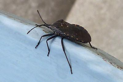 P110AnasaTristisSquashBug934 May 10, 2012  7:36 a.m.  P1100934 Another look at the Squash Bug, Anasa tristis, at LBJ WC.