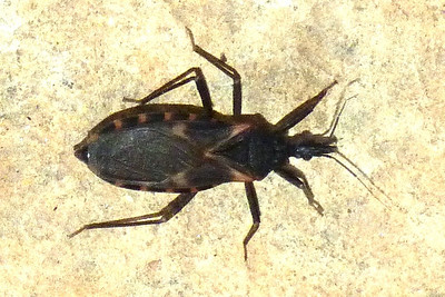 P128TriatomaSanguisugaKissgBbest147 Aug. 15, 2013  7:40 a.m.  P1280147 And one more look at Triatoma sanguisuga, the Kissing Bug, at Lady Bird Johnson Wildflower Center.
