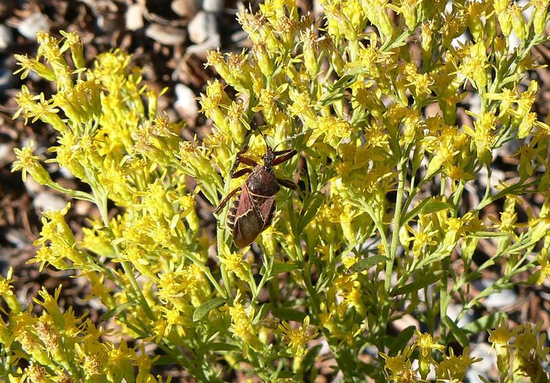 P107BeeAssassinApiomerisSpissipes032 Sept. 30, 2010  9:16 a.m.  P1070032 Bee Assassin, Apiomeris spissipes LBJ Wildflower Center fauna survey