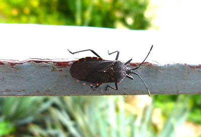 P111AnasaTristisSquashBug033 May 10, 2012  8:25 a.m.  P1110033 Top view of the Squash Bug, Anasa tristis, on the handrail at LBJ WC.