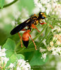 Great Golden Digger Wasp, FL (1)
