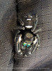Bold Jumper spider, Jekyll Island, GA (5)