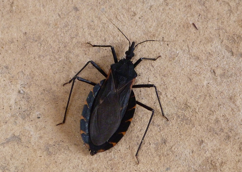 P113ChilledTriatomaGerFewermpx319 June 21, 2012  8:48 a.m.  P1130319 This is the real Kissing Bug, in genus Triatoma.  Ours also carry Chagas' Disease but normally leave the feeding site before pooping, leaving us uninfected as long as we don't step on their tiny poop with bare feet that have open sore spots.  Hey, wash Fido's feet before he tracks in!
