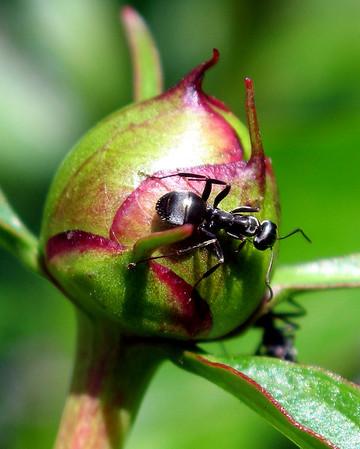 Ant on Peony