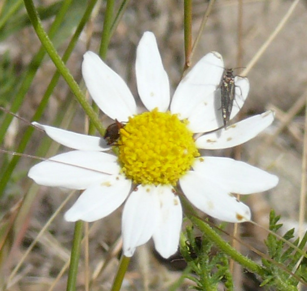 Note that there are two different species of bugs on this flower.