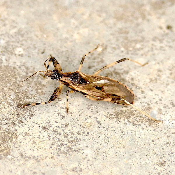 P166OncocephalusGeniculatus357 Apr. 20, 2017  7:41 a.m.  P1660357 Oncocephalus geniculatus is totally new assassin bug for me and I can't find out a lot about it, so may be an error.   Reduviid.  VB reports there is a similar species it could be. Presumably O. apiculatus (rarely collected & drswanny says may not exist) which has a unique ratio of the antennal segments. BG has 4/19/2017 pics from Georgetown by Dvori B.
