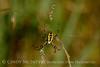 Black and Yellow Argiope female, FL (3)