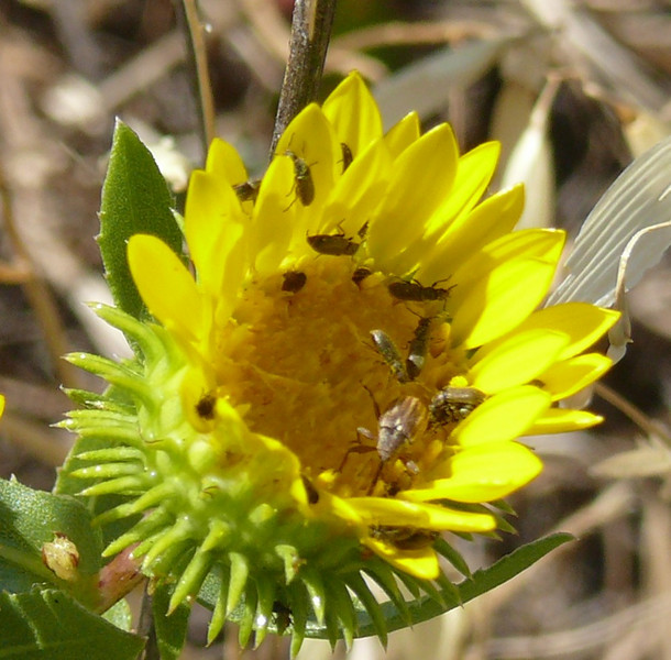 Note the bug with the long proboscis at the bottom of the flower.