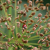 A Lady Bug takes a rest in a wild parsnip plant.