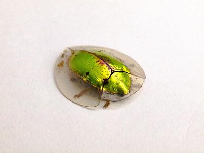 A tortoise beetle (a Chrysomelid).   Strikingly beautiful.