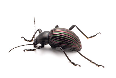 A subtly colorful darkling beetle (a Tenebrionid).