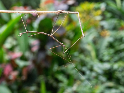 Walking stick walking on a stick.