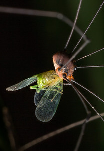 Harvestman with prey (a leafhopper?).