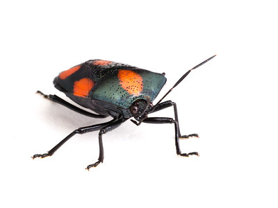 Another plant bug.