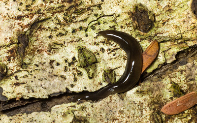 A worm, I think one of the terrestrial Planaria.  Looks a bit leechy, but I can't see segmentation.