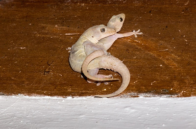 Geckoes calmly making beasts of themselves on the ceiling of the dining hall.