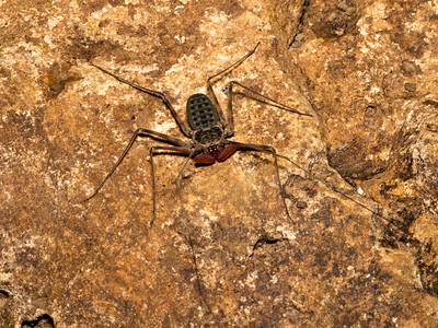 A cave amblypygid, member of an Arachnid order that's sister to spiders and scorpions.  Wicked-looking raptorial pedipalps, non-venomous.  Body length on this one (exclusive of legs) ~30 mm.  Completely harmless to humans.