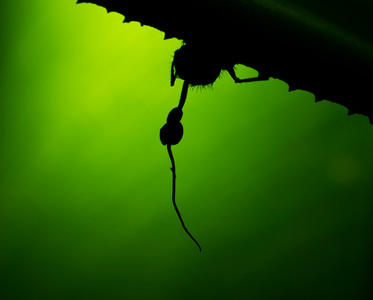 Ophiocordyceps fungus on a parasitized ant, in silhouette.  Thanks to Alex for the lighting on this one.