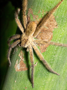 Largish (~15 mm BL) spider, maybe a wolf.