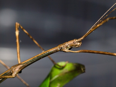 Front part of a large walking stick.