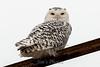 owl-3131