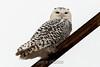 owl-3103
