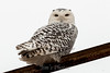 owl-3123
