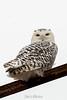 owl-3123-2
