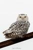 owl-3131-2