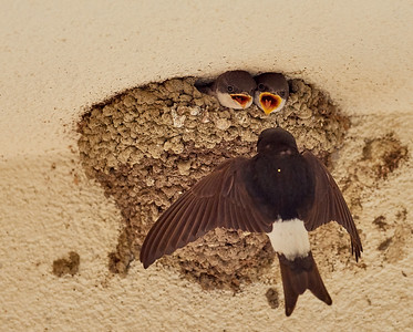 House martins feeding