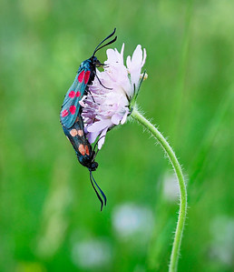 Burnet moths coupling