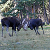 IMG-6654 Fighting Bull Moose<br /> Published in Colorado Outdoors Magazine Jan /Feb 2013