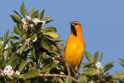 Bullock's Oriole at PAB