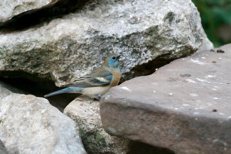 Male Lazuli Bunting<br /> Smith Co. 4-24-14