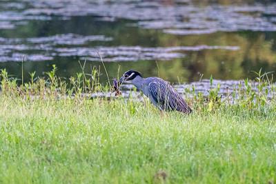 Burroughs Park - 7-20-18 - Deer & Birds