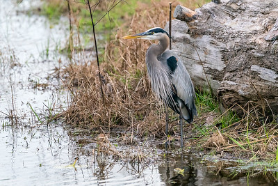 Heron at Burroughs Park 12-29-16