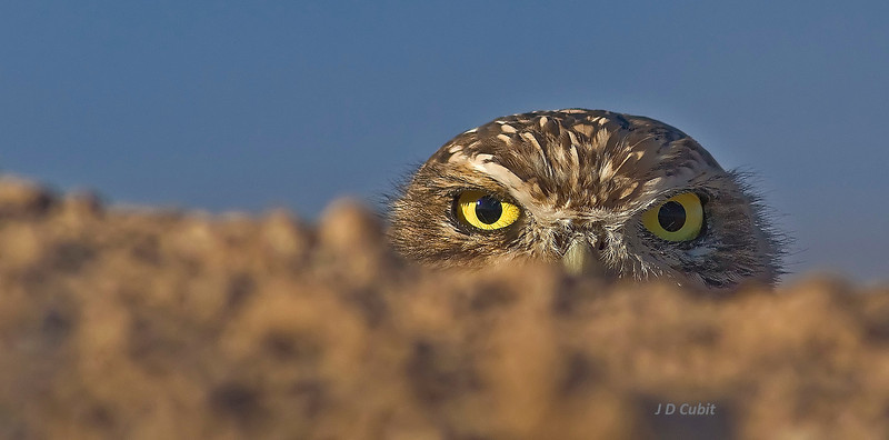Burrowing owls commonly crouch down behind berms of earth at the approach of a person.