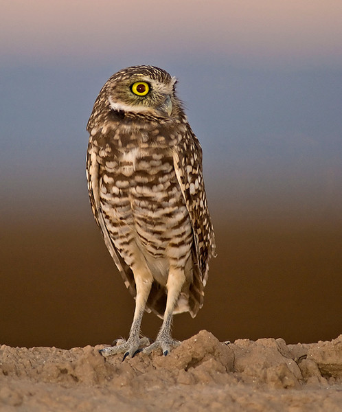 Burrowing owl just after sundown, with a background of the belt of Venus, earth shadow, and newly plowed field.