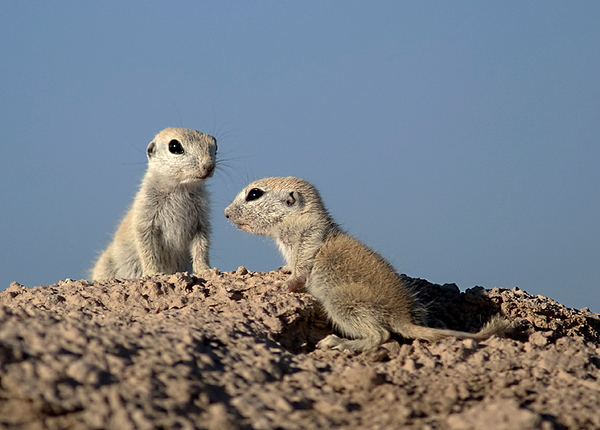 Roundtail ground squirrels (Spermophilus tereticaudus).  Reportedly burrowing owls will modify the burrows of ground squirrels to make their own nesting burrows.