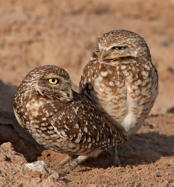 Pair at  the entrance to their burrow.