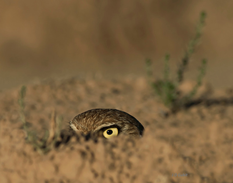 Burrowing owl crouched behind berm.