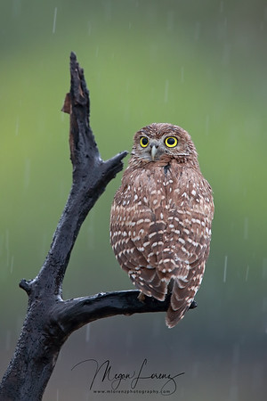 Wet Burrowing Owlet during a storm in Florida.