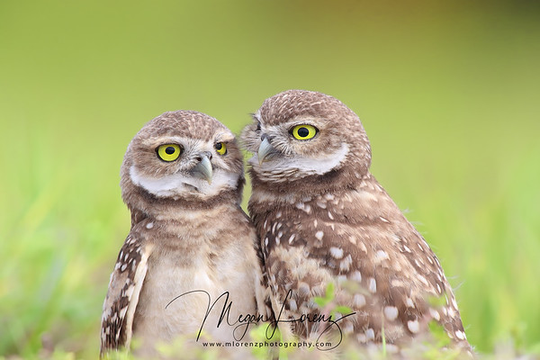 Two Burrowing Owlets in Florida.
