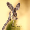Burrowing Owlet learning to fly in Cape Coral, Florida
