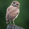 Curious Burrowing Owlet in Florida.