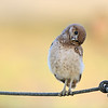 Florida Burrowing Owlet standing on rope and tilting his head.