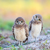 Florida Burrowing Owlets