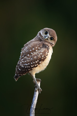 Florida Burrowing Owlet tilting its head trying to judge the position and distance of things around him.