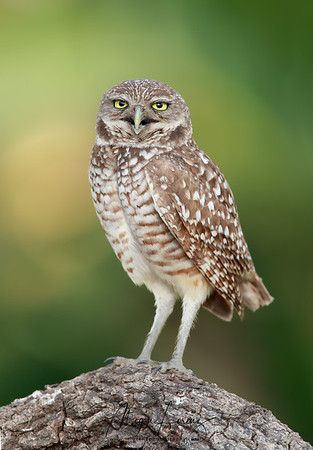 Burrowing Owl in Cape Coral, Florida